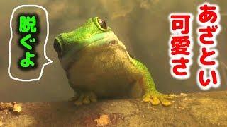 緑の ヤモリ の脱皮を かかじいのアフレコでお届け【Peacock Day Gecko Shedding】ヨツメヒルヤモリ