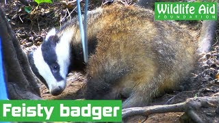 Rescuer breaks rib trying to save badger - Sad ending