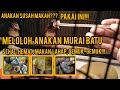 Tips Meloloh Anakan Murai Batu Dari Umur  Minggu Agar Sehat Dan Cepat Besar  Mp3 - Mp4 Download