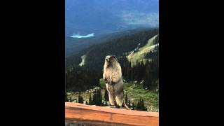 Marmot screaming on Blackcomb Mountain