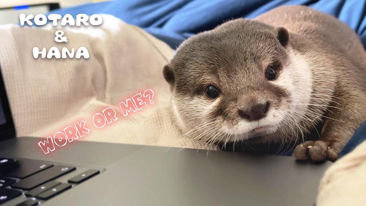 仕事してたらカワウソがじーっと見つめて何かを訴えてきた My Otter Won't Let Me Work