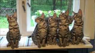 Бенгальские котята.wmv