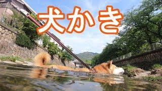 柴犬小春 【犬かき】石を渡るのが面倒くさいと泳ぐ柴犬! Koharu swims for the first time!