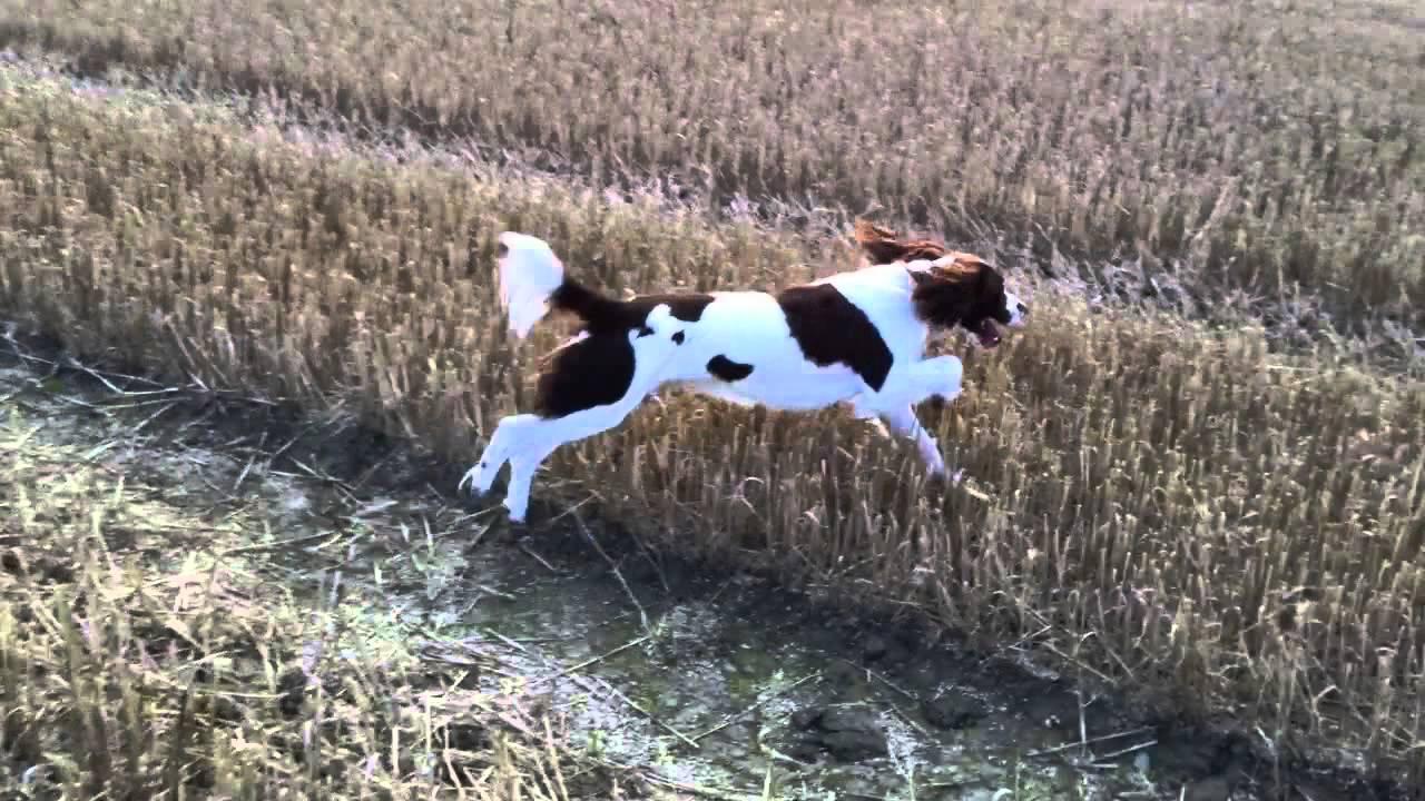 English Springer Spaniel Hunting Barney the Engl...