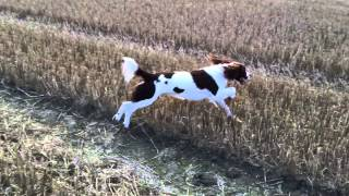 Barney The English Springer Spaniel Hunting The Hare