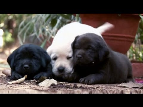 Getting to know more about Labradors