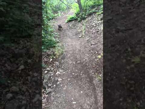 Border Terrier Poppy and her Boundless Energy