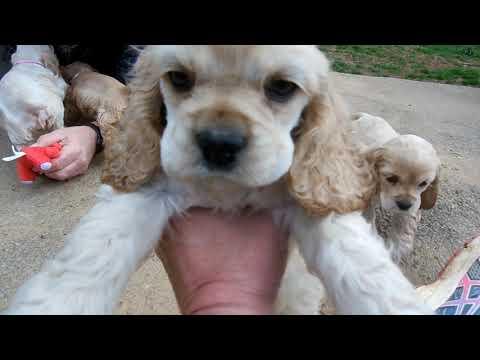 Cocker Spaniel Puppies 2-7-20