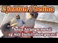 Jalak Kebo Jalak Nias Suren Jalak Bali Akan Gacor Dengar Ini  Mp3 - Mp4 Download