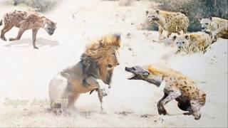 Битвы зверей. Львы против гиен.