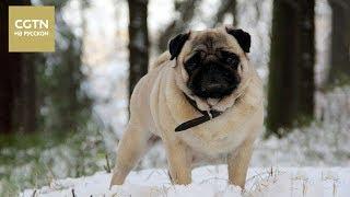 В Китае все большей популярностью пользуются породистые собаки из России [Age 0+]