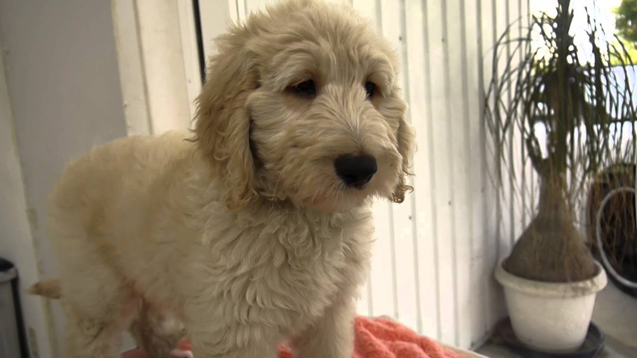 ゴールデンドゥードルのメス3横浜ブリーダーpadogで子犬販売 Youtube