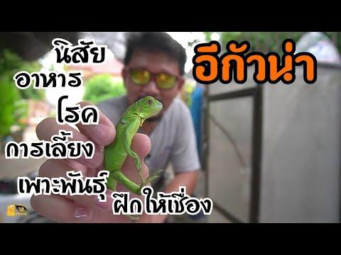 อีกัวน่า กับเรื่องราวที่น่าทึ่ง  The amazing story of Iguana