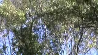 AUSSIE BIRDS BELLS OF THE BUSH