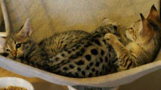 Wild cat hybrid kittens play - it's noisy! Thumbnail