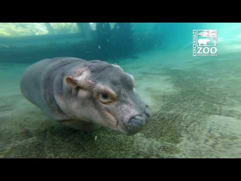 Fiona Exploring Outdoor Habitat When Cincinnati Zoo is Closed