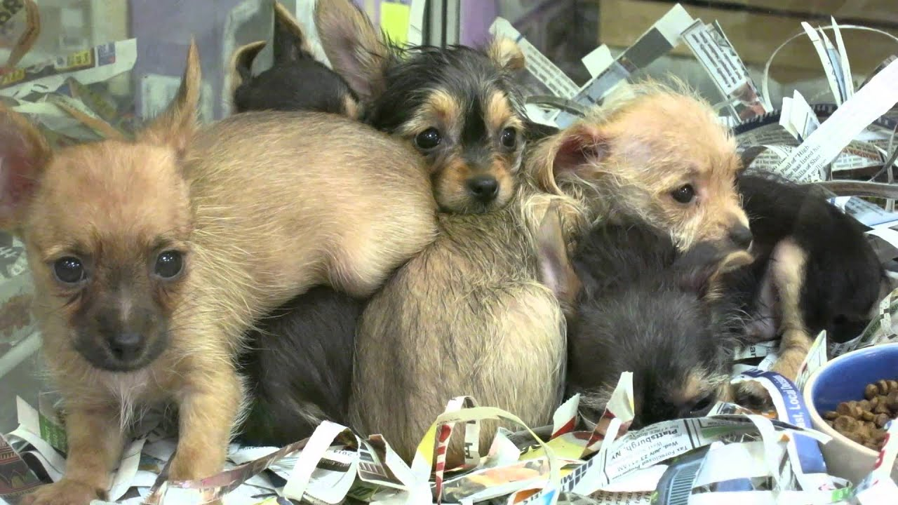 Baby Dorkie Puppies Dachshundyorkie Mix Super Cute Month Old Youtube