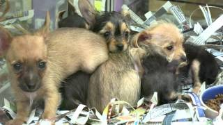 Baby Dorkie Puppies (dachshund/yorkie Mix) Super Cute Month Old
