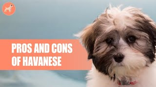 Havanese: Pros And Cons Of This Extremely Friendly Dog Breed