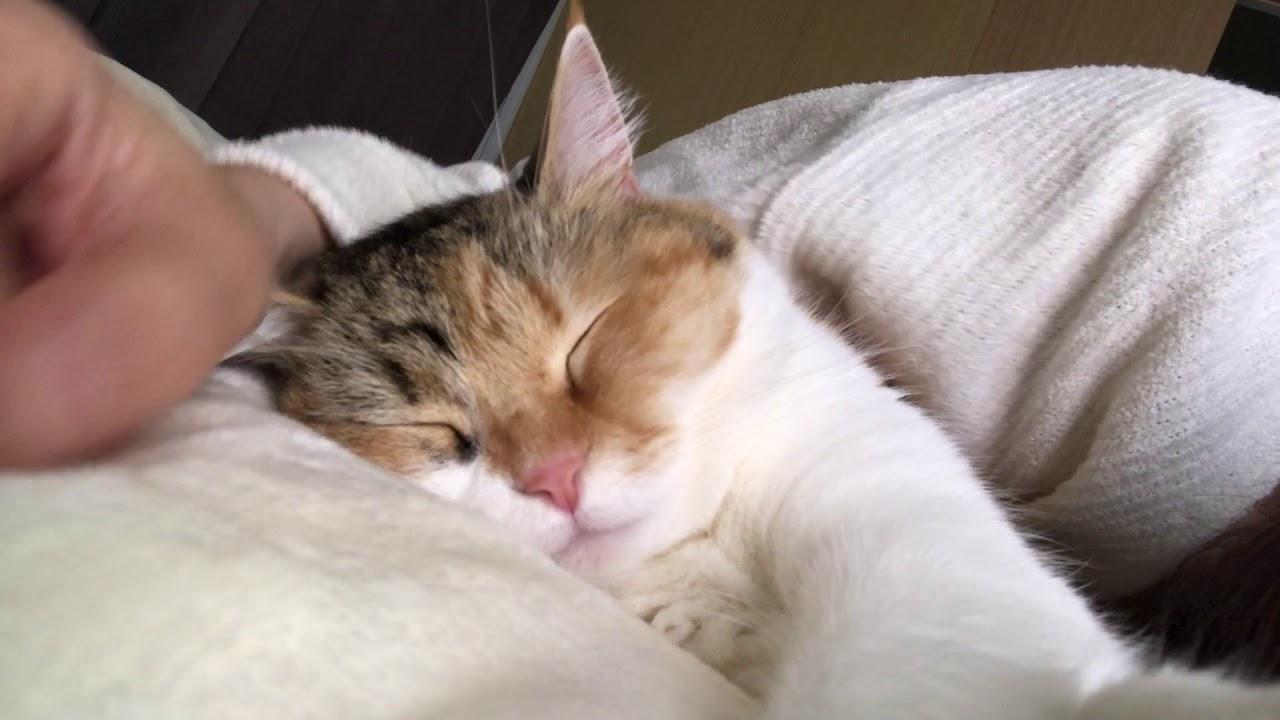 猫とお昼寝 /  ちょびがお昼寝をしていたので添い寝しに行きました!!/Taiking nap with my cat