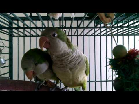 Quaker Parrots Make Kissing Sounds