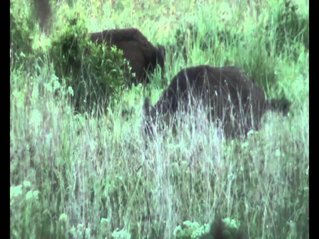 Jagd total! Sauen hautnah und ein Überläufer erlegt! Jagdvideo von unserer Jagdreise nach Polen. #1