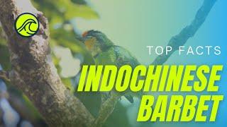 Indochinese Barbet   Annam Barbet