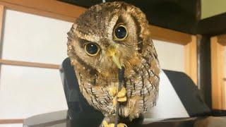 綿棒とフクロウ Cotton swabs and owl