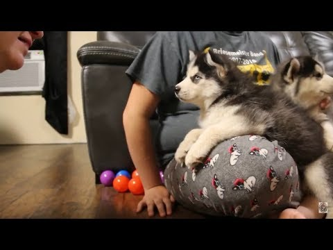 Husky Puppy Argues Over Bath | Husky Puppy Talking | Funny & Cute
