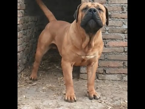 Fantastic  SOUTH AFRICAN BOERBOEL Dogs  In The World