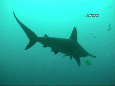 Hammerhead sharks being cleaned by angel fish youtube for Sharks fish chicken birmingham al