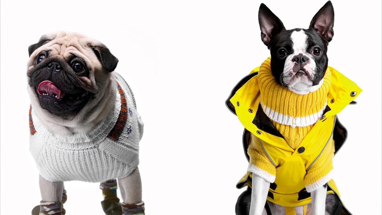 Одежда для собак: красивые и практичные аксессуары. Одежда для собак аксессуары, которые выполняют не столько эстетическую, сколько практическую функцию. Теплые, удобные жилеты, комбинезоны защищают животное от холода, делают прогулки комфортными, безопасными. Теплая одежда.