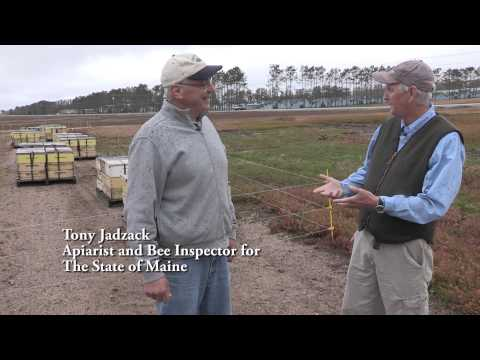 Commercial Pollination in Maine's Blueberry Barrens