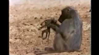 Опасные животные. Дикие животные. Обезьяна vs крокодил