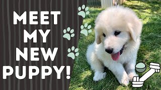 My new Great Pyrenees puppy!