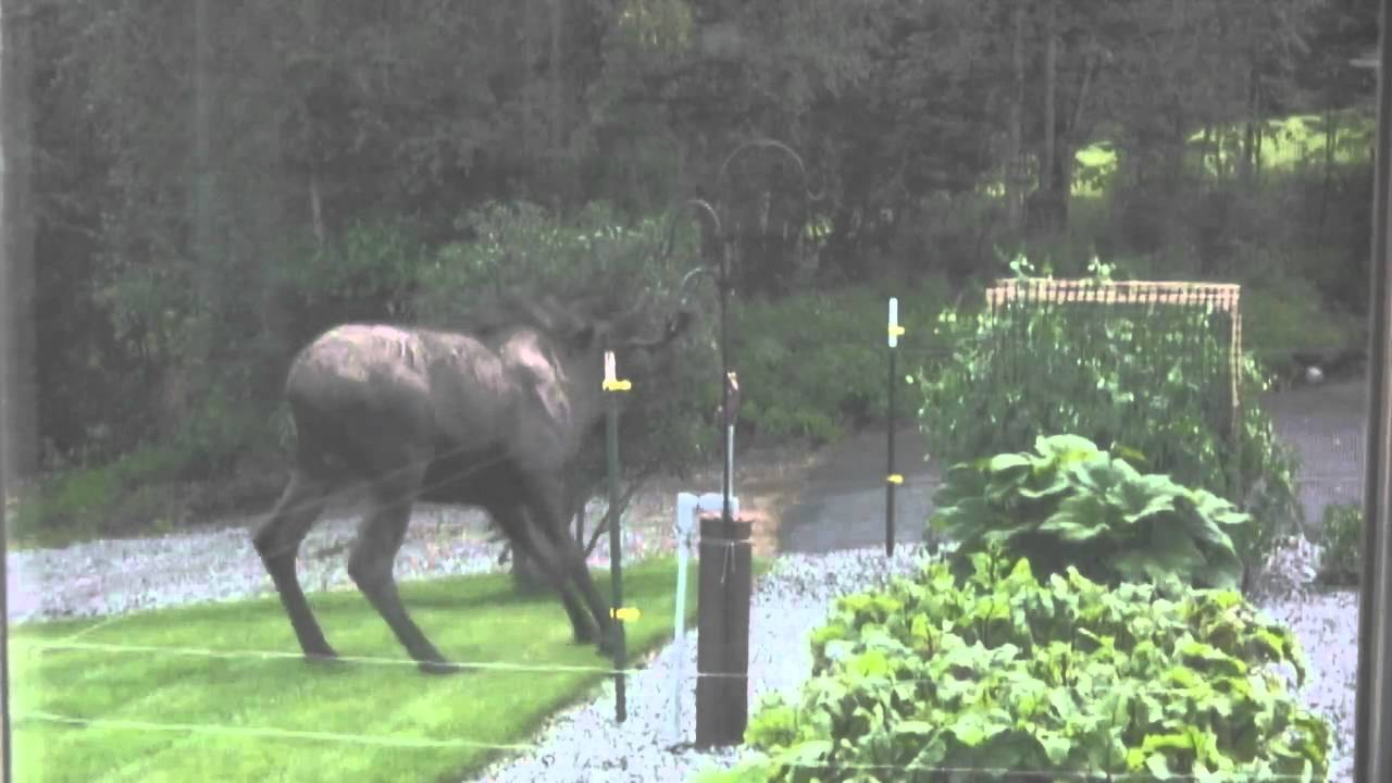 Mr Moose meets the electric fence YouTube