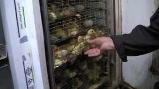 Инкубаторий на 14 000 яиц. Хозяйство Гридневых.