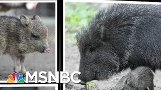 Gambar cover Speeding Javelina Captures Our Hearts | All In | MSNBC