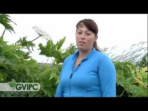 Giant Hogweed Identification and Comparison with Cow Parsnip