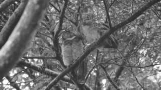 Spotted Wood Owls Allopreening (28Dec2013)