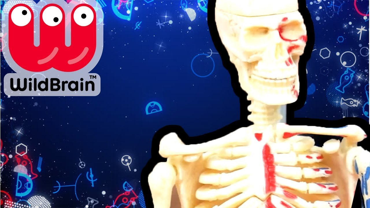 Learn About Human Body Anatomy Model Learn About Bones Fun