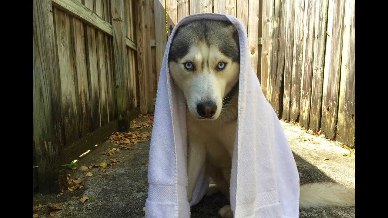 Showering my Husky!