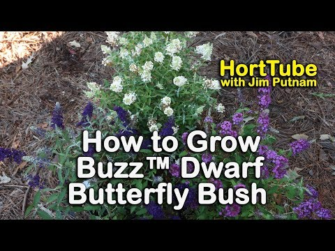 How to grow Buzz™ Dwarf Butterfly Bushes - 7 Colors That Bloom All Summer Long