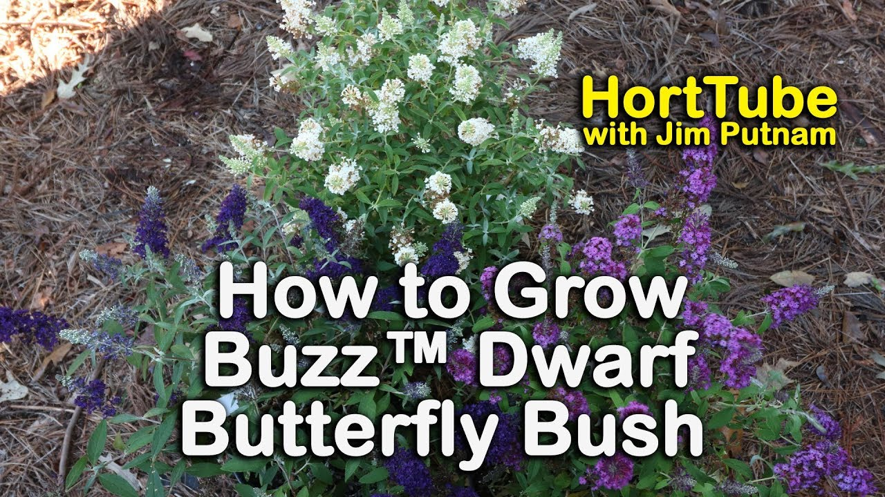 How To Grow Buzz Dwarf Butterfly Bushes 7 Colors That Bloom All
