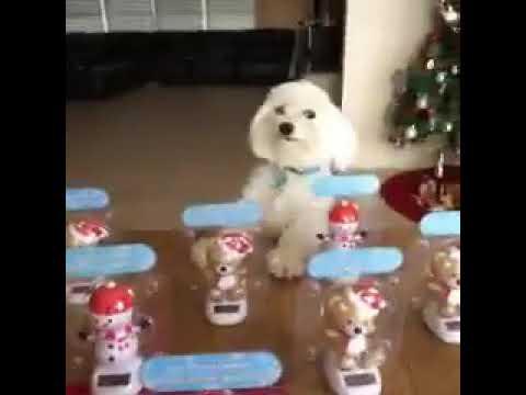 Funny Pets || Mascotas Divertidas || Dog dancing