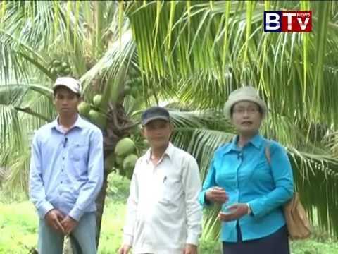 cambodia agriculture coconut farm in cambodia ដំណាំដូងក្រអូប កសិកម្មកម្ពុជា business idea