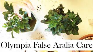 Olympia False Aralia Care Tips and (Re)Potting