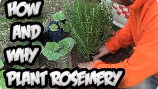 How And Why To Grow Rosemary In The Garden || Toni's Organic Vegetable Garden