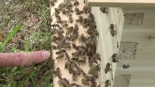 Swarm of bees lands on box, the queen walks in