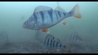 Активная рыбалка на окуня по последнему льду  Подводное видео(Мы все знаем, что рыбалка на окуня по последнему льду может быть очень удачной. Много классных фото окуня..., 2015-04-21T08:26:02.000Z)